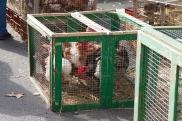 2 - chickens