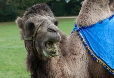 21w chameau mange