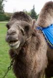 22w chameau