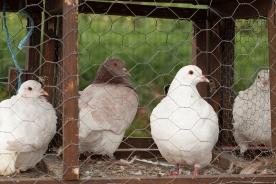 7 - pigeons