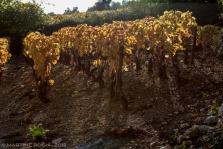 vignes jaunes (56 of 32)